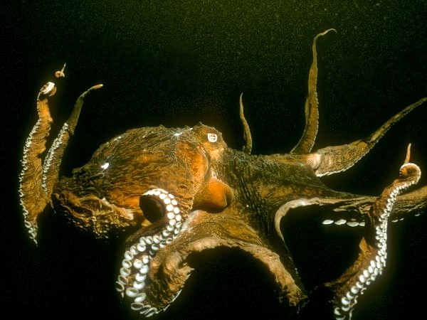 pacific-octopus_655_600x450